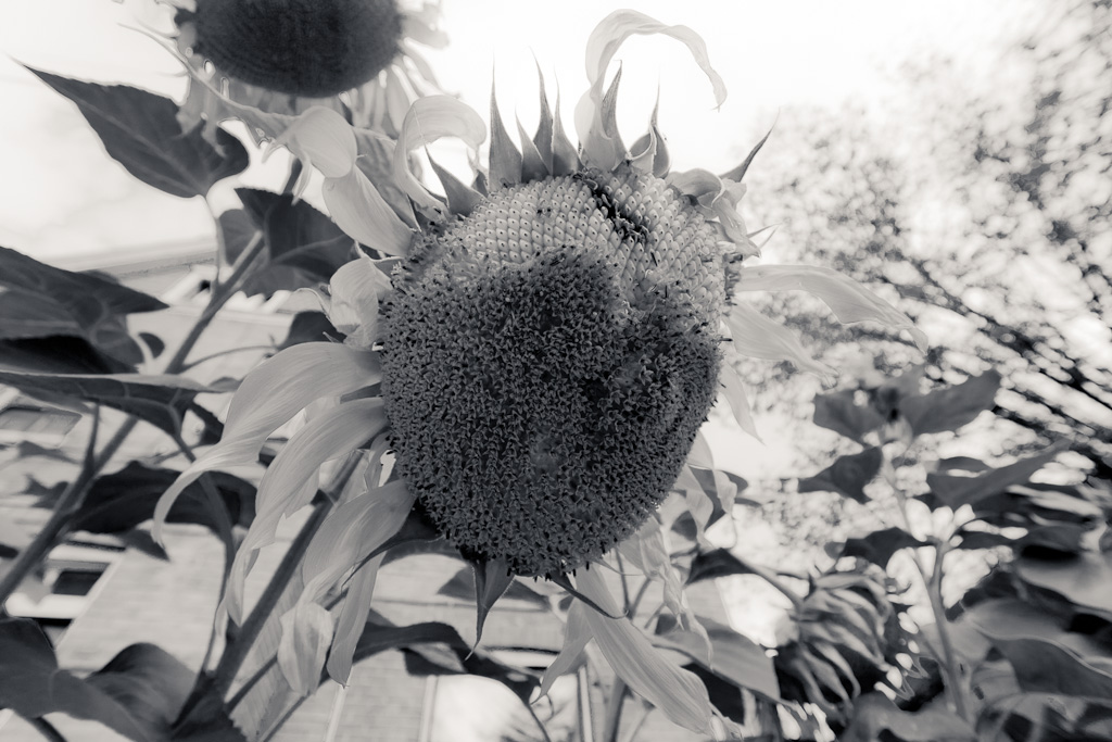 Parkdale Sunflower