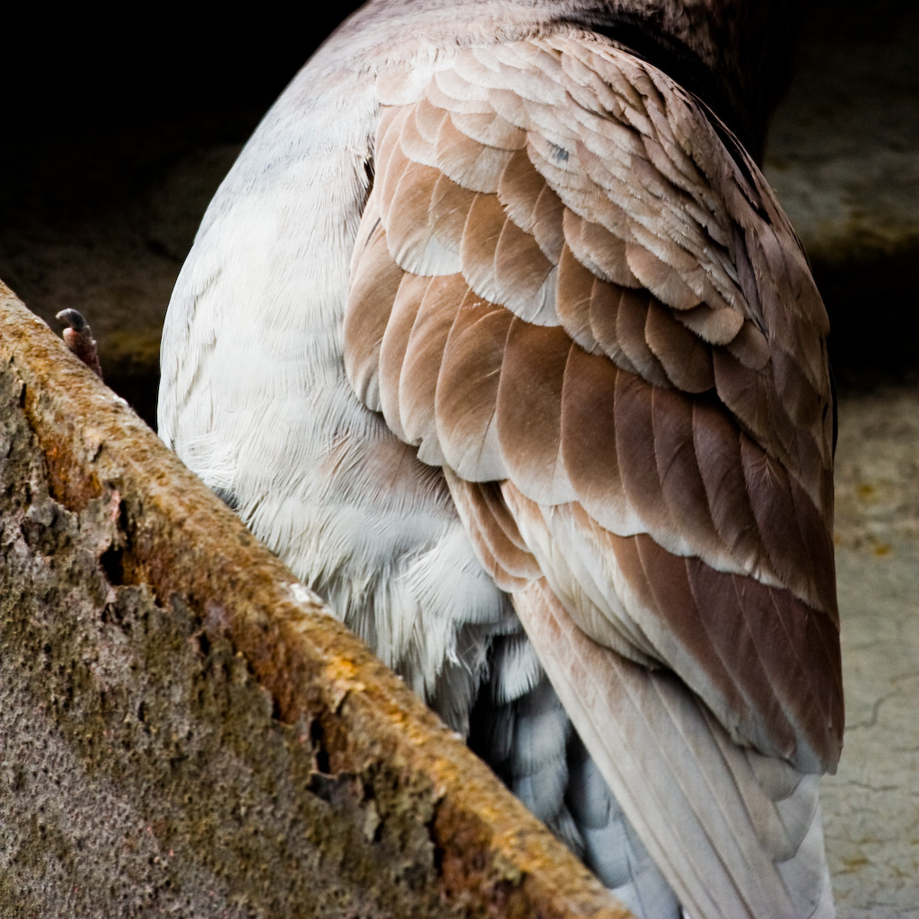 Pidgeon Feathers
