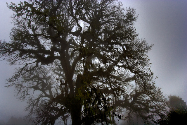Ngorongoro Tree in Fog